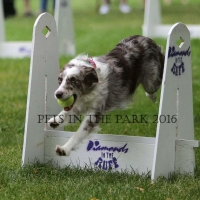 PIP 2016 saskatoon-sk-lux-demonstrates-flyball-at resized